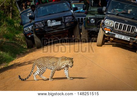 National parks Yala Sri Lanka - May 26 2016: Leopard crossing the road in front of the audience. Safari.  A great rarity. We were lucky.