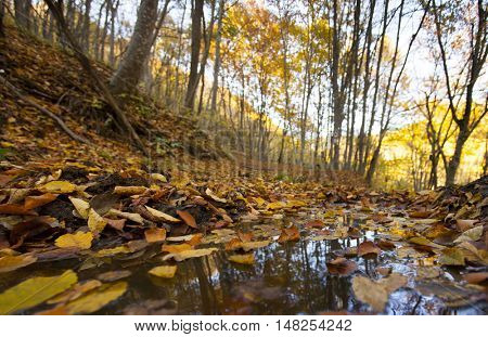 Close up on colorful leaves in a puddle in autumn forest