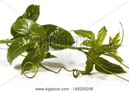 Leaves And Curling Tendrils Of The Granadilla Plant