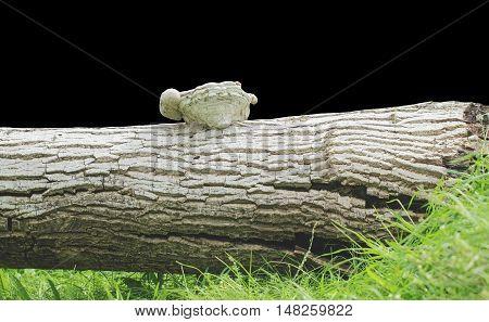 Tinder on stump walnut tree on a black background