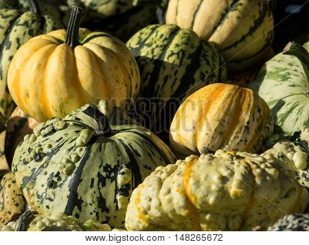 many orange  pumpkins in a  german garden