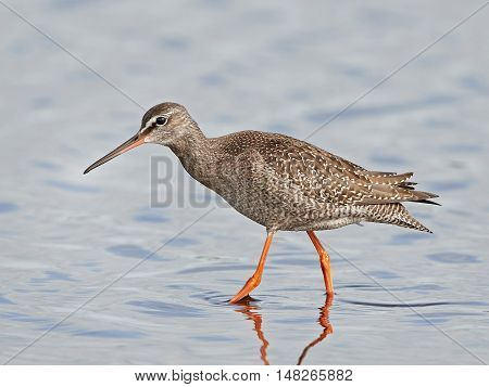 Spotted redshank (Tringa erythropus) walking in water in its habitat