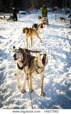 Barking Huskies on Dog Sled