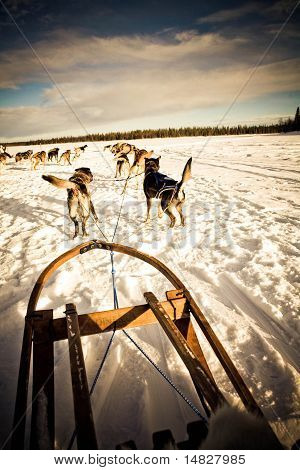 Husky Sled in the Arctic