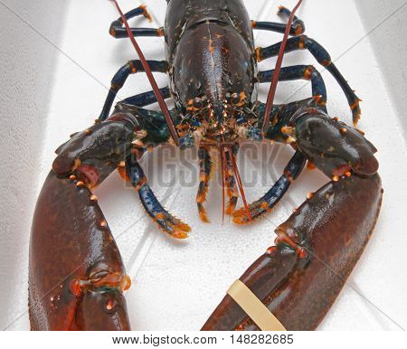Live Lobster Crustacean With Big Claws Front View