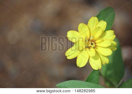 Clouse up Zinnia flower or Zinnia violacea Cav.