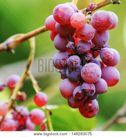 Red grape in the garden ready to harvest