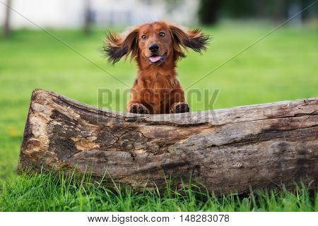 red dachshund dog posing outdoors in summer