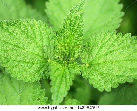 Green background leaves of light nettle macro