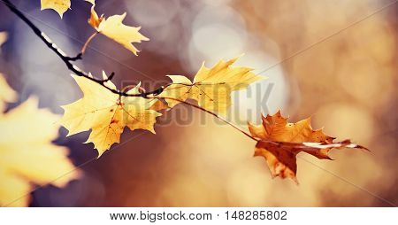 Branch of maple tree with autumn yellow leaves. Golden autumn.