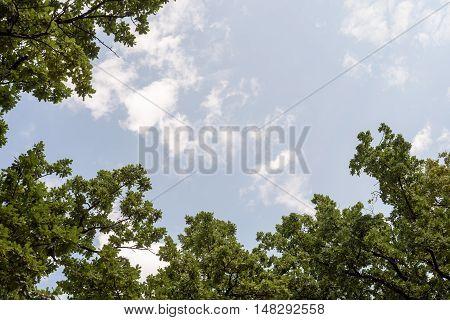 Oak Tree And Summer Sky