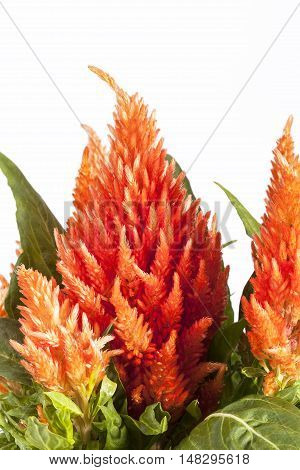 Flowers of orange celosia on white background