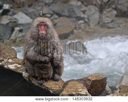 Mother and baby monkeys hugging. Jigokudani Monkey Park. Nagano. Japan.