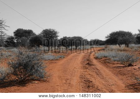 Landscape picture of a road in Madikwe game reserve, South Africa.