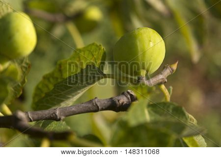 Green figs on a fig tree fruit