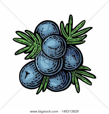 Branch of Juniper with berries. Vintage vector color engraving illustration for label poster web. Isolated on white background