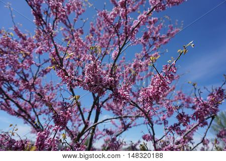 Flowers of an eastern redbud (Cercis canadensis) during May in Joliet, Illinois.