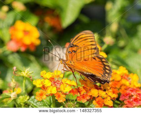Gulf Fritillary butterfly feeding on a brightly colored Lantana flower
