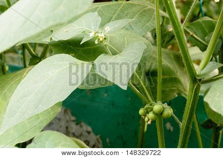 Atropa Belladonna plant with (Deadly Nightshade) flowers and unripe berries on the highly poisonous weed. poster