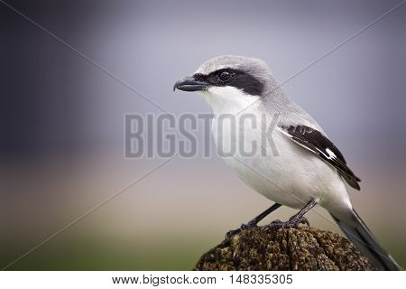 Loggerhead shrike or butcher bird sits and watches. Bokeh background.