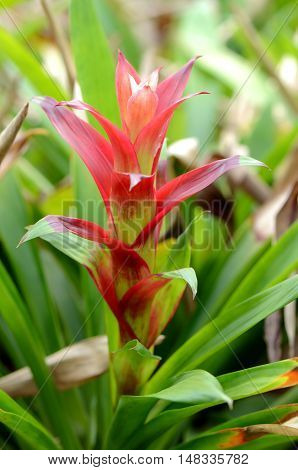 Bromeliad or Urn Plant (Aechmea fasciata) kind of local Brazil Plants. poster
