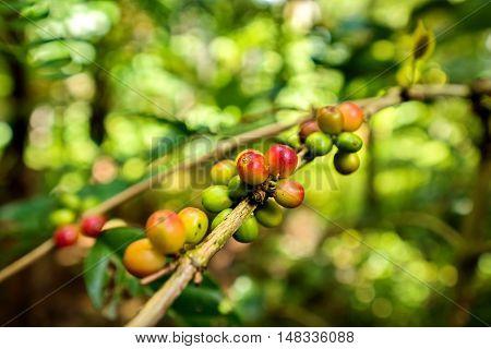 Coffee beans on tree in organic farm