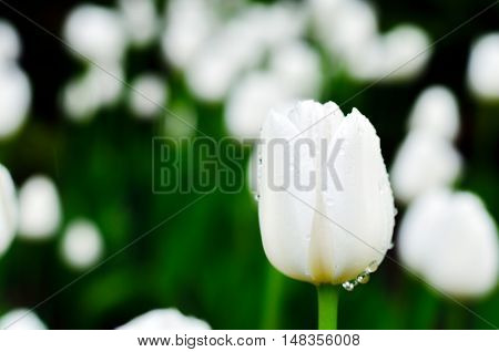 White tulip with rain drops against other white tulips. Blurring background. Nature after rain