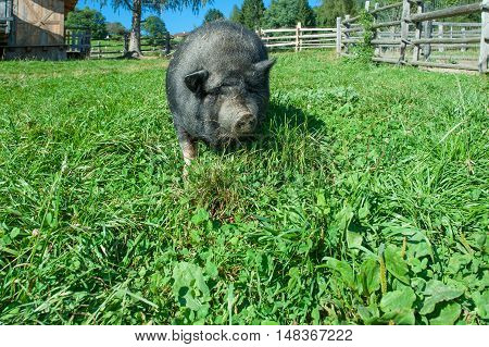 Black pig swine feeds grass in the farm poster