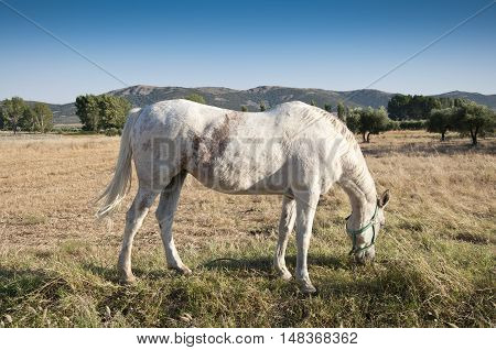 White horse grazing in a rural landscape in Ciudad Real Province Spain