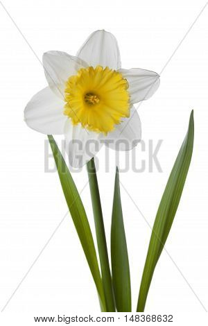 Narcissus daffodil jonquil isolated on white background.