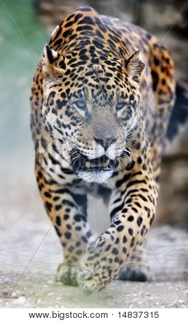 big wild cat animal in zoo poster