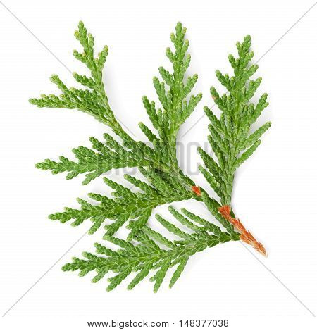 Closeup of green twig of thuja the cypress family on white background.