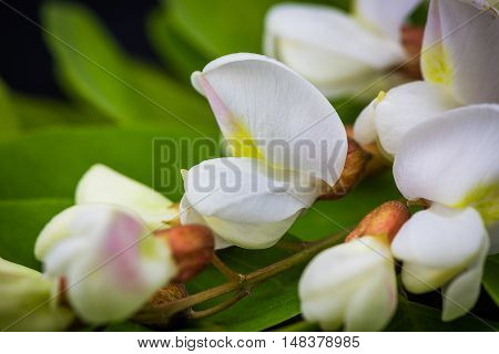 Black Locust flowers Robinia pseudoacacia blooming in spring
