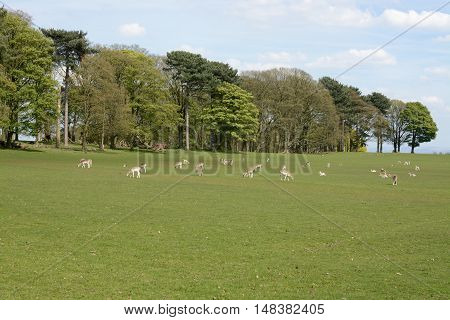Deer at Tatton park, Knutsford, Cheshire, UK