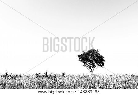 Black and white tree on a meadow.
