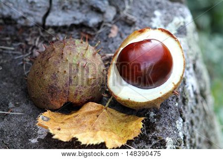 Horse chestnut still life. chestnut fruit close up. Yellow dry leaf.