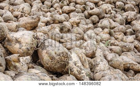 Closeup of piled recently harvested sugar beets still covered with some clay waiting for transport to the sugar factory. The autumn season has just begun.