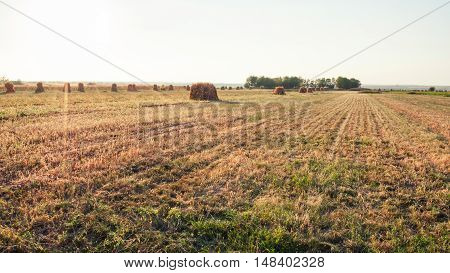 Field With Sheaves Of Corn At Sunset