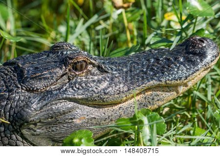Close up of Florida alligator head with mouth tilted up