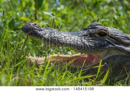 Florida alligator in a grassy area with mouth wide open showing it's teeth