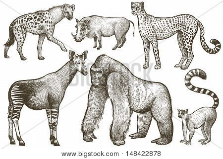 African animals set. Hyena okapi cheetah gorilla warthog lemur. Illustration Vector Art. Style Vintage engraving. Hand drawing isolated on white background.