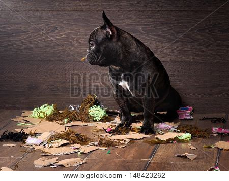 Blame the dog among the pieces of paper and trash in anticipation of punishment
