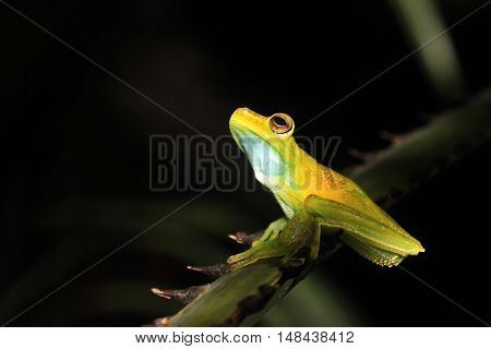 Green and yellow colored palm tree frog sitting on a palm branch in Mindo Ecuador