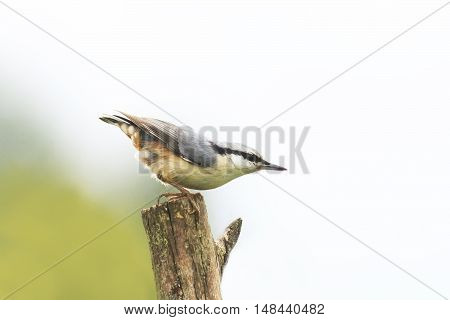 bird nuthatch stands on an old wooden post