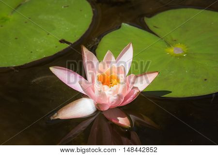 pink lily pad with green pads around it