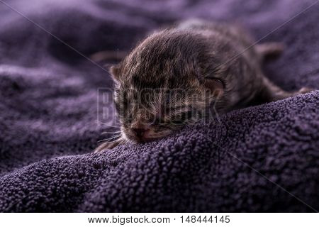 One Day Old Tabby Kitten On Dark Blanket