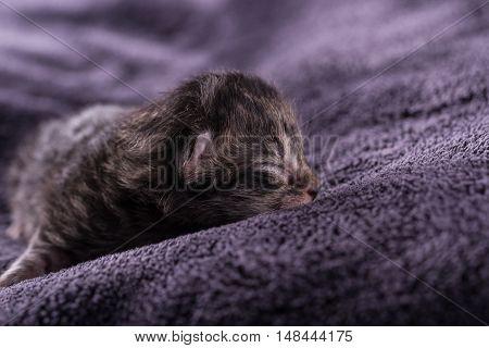One Day Old Tabby Kitten Sleeps On Dark Blanket