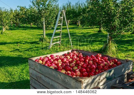 Fresh picked honey crisp apple harvest in wooden bins on the farm.