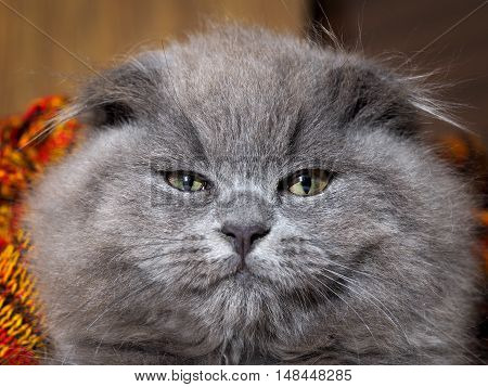 Portrait of arrogant gray cat with a huge muzzle