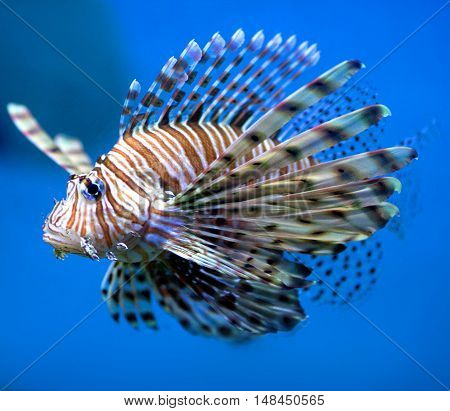 Beautiful lion fish (or turkey fish) hovering in mid water